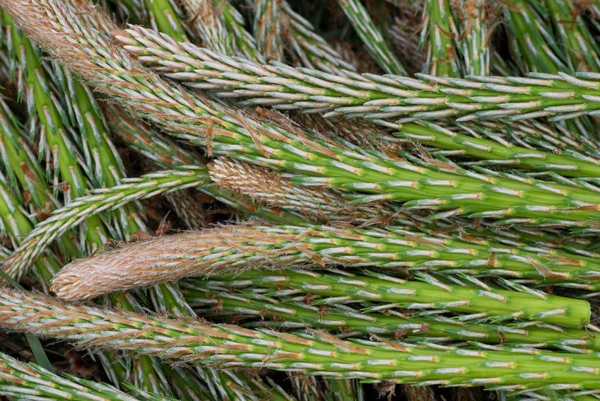 Syrop z pędów sosny krok po kroku - przepis, przygotowanie, właściwości