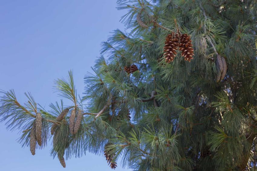 Sosna himalajska jest bardzo atrakcyjnym drzewem, szczególnie jej karłowate lub kolorowe odmiany są najładniejsze. Uprawa drzewka nie nastręcza większych problemów.