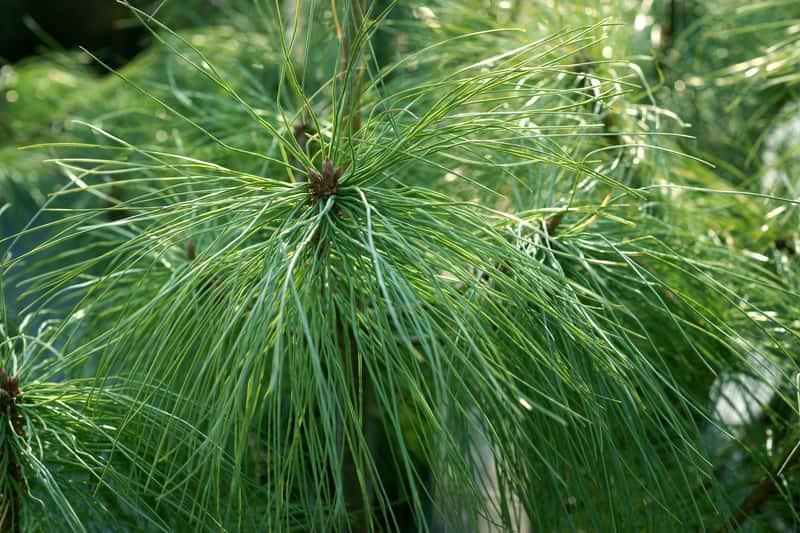 Sosna himalajska o długich igłach, a także uprawa, wymagania, opis rośliny, najczęstsze choroby oraz pielęgnacja w ogrodzie