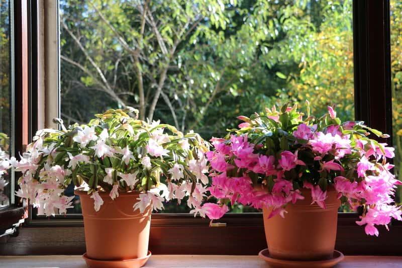 Ciemnoróżowy i jasnoróżowy grudnik, czyli kaktus bożonarodzeniowy w doniczce, a także pielęgnacja, uprawa, zastosowanie oraz rozmnażanie rośliny