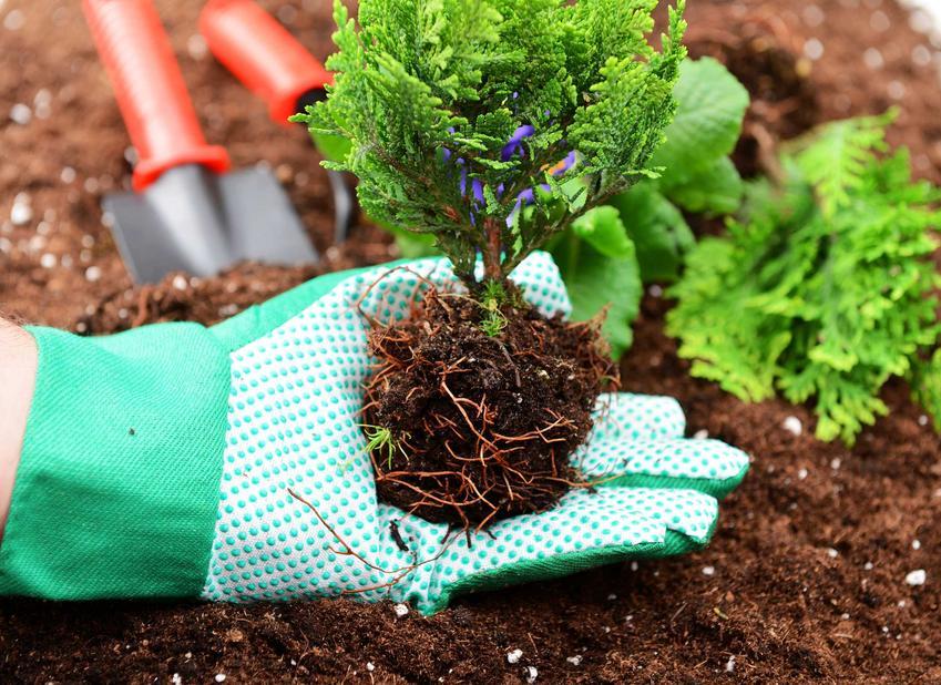 Sadzenie tui wykonuje się do świeżej, mocno nawiezionej i przygotowanej wcześniej gleby. Sadzonki są małe, mieszczą się na dłoni, ale tuje to szybkorosnące iglaki, które błyskawicznie się rozrastają.