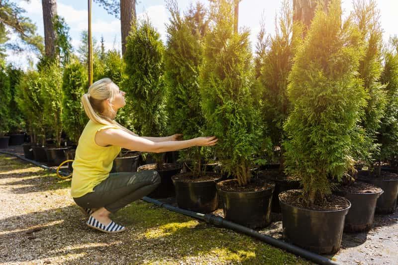 Nawożenie tui, a także najlepsze środki do nawożenia tui, nawozy jesienne i sposoby pielęgnacji tui w ogrodzie
