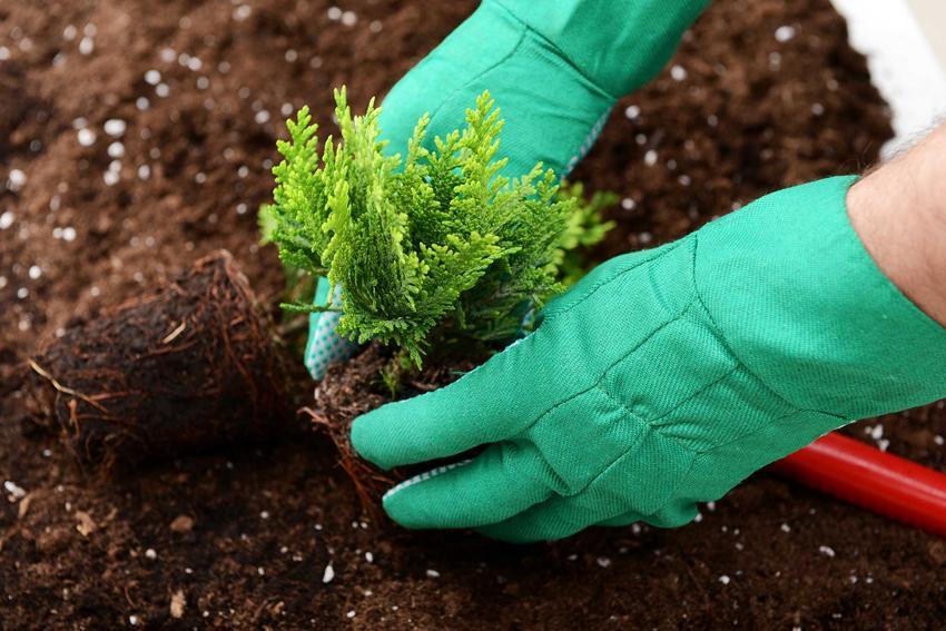 Rozmnażanie tuj z sadzonek nie jest trudne. Można zrobić to łatwo i szybko, a pielęgnacja nowych roślin nie jest trudne