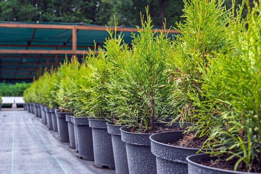 Ceny tui są zależne od wielkości sadzonki. Nie są drogie, więc możesz od razu kupić kilkadziesiąt sadzonek, by stworzyć żywopłot.