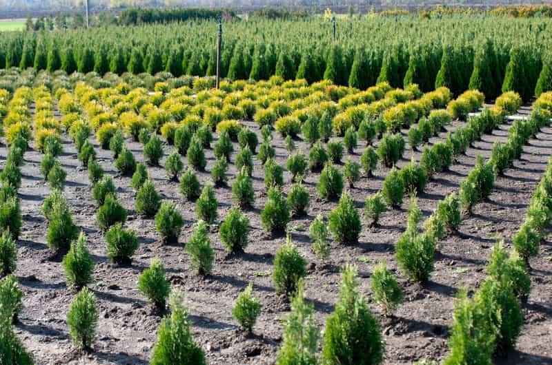 Szkółka z sadzonkami tui, a także sadzenie tui krok po kroku, najlepsze terminy, podłoże, wymagania rośliny