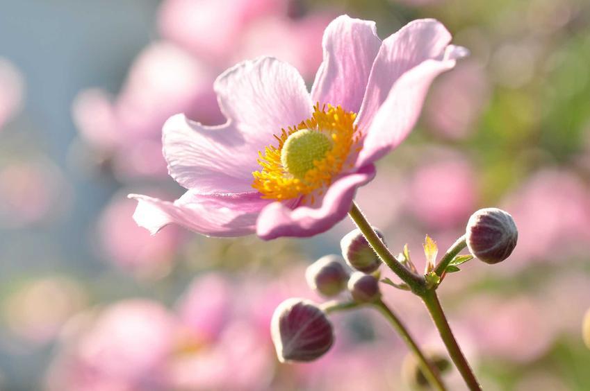 Kwiat zawilca japońskiego przybiera różne kolory - biały, różowy, fioletowy, a nawet purpurowy. Zróżnicowana jest również jego budowa. Może być pojedynczy, półpełny lub pełny.