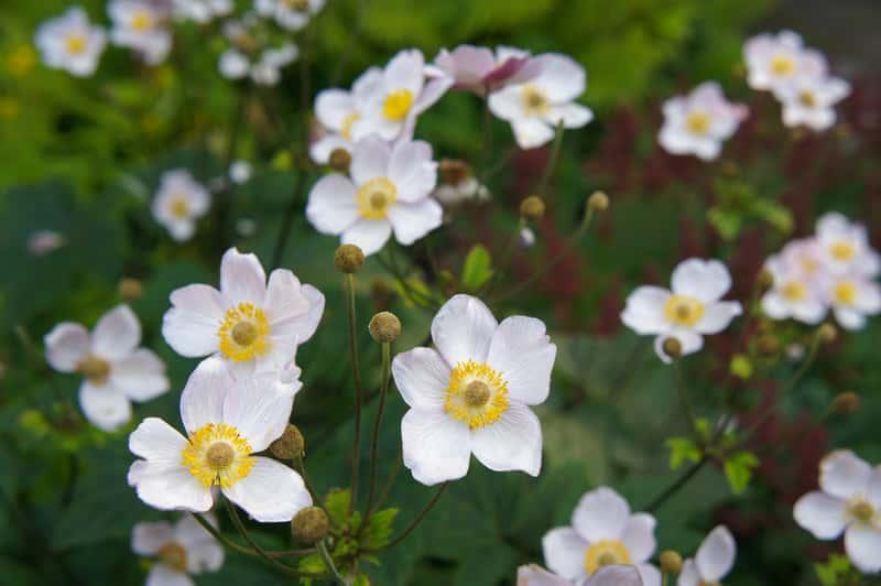 Zawilec japoński o białych kwiatach, a także informacje: odmiany, sadzenie, wymagania co do uprawy i pielęgnacja