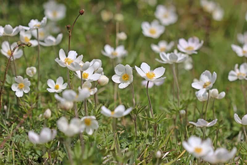 Zawilec wielkokwiatowy w ogrodzie - opis, gatunki, warunki uprawy, środowisko, wymagania, sadzenie, pielęgnacja - porady