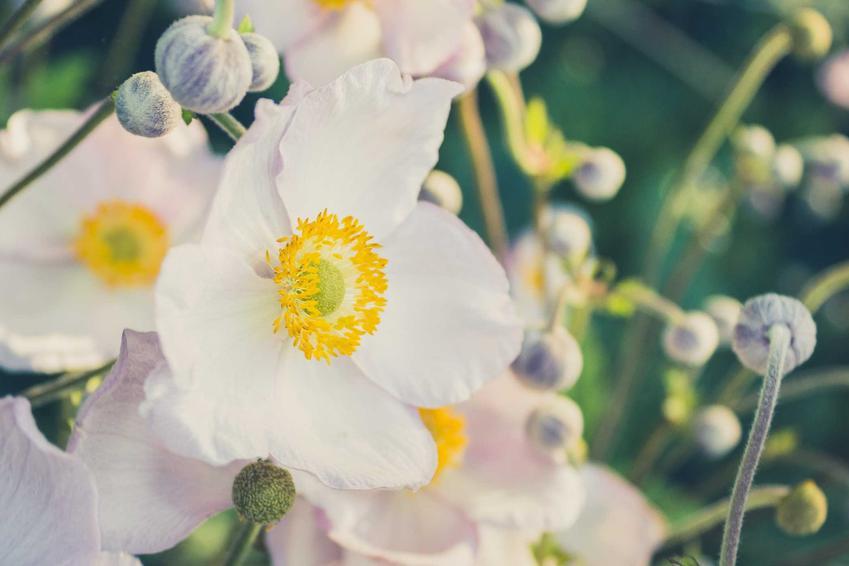 Zawilec wielkokwiatowy wyróżnia się przepięknymi kwiatami. Jego uprawa nie jest trudna, a ładnie prezentuje się w ogrodzie