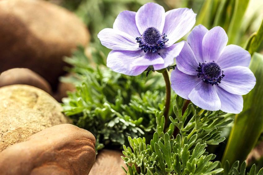 Zawilec ogrodowy to jedna z ciekawszych roślin. Ładnie się prezentuje, a jego barwe i pstrokate odmiany rozjaśniają każdą rabatę.