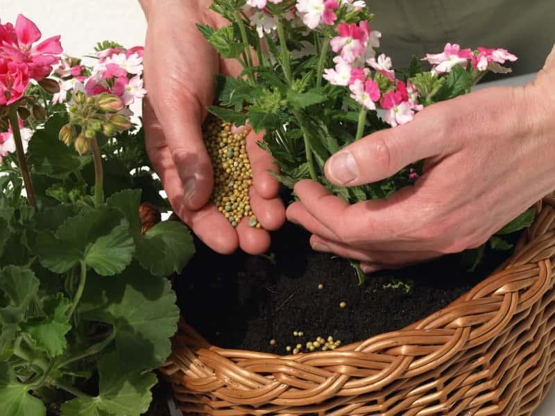 Podsypywanie nawozem różowych pelargonii uprawianych w koszykasz, a także mineralny i granulowany nawóz do pelargonii krok po kroku