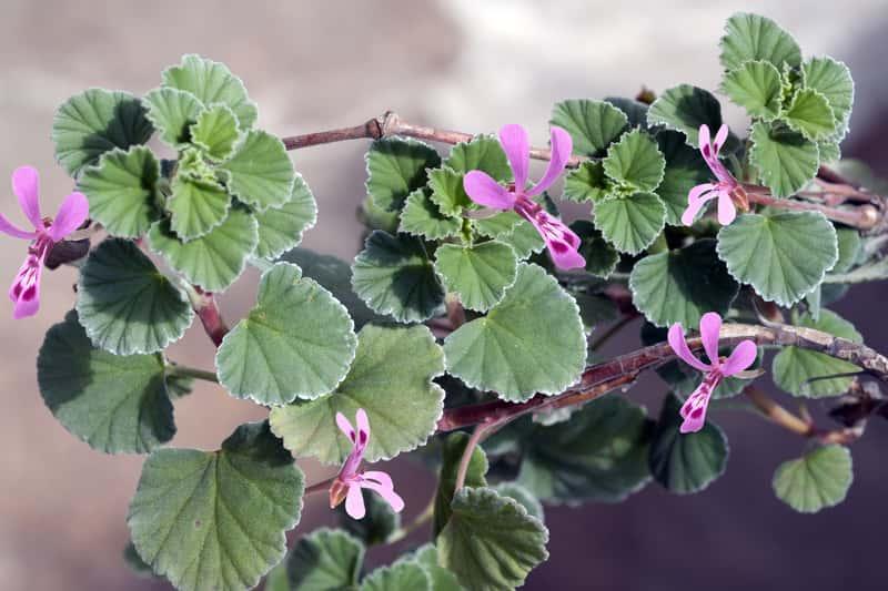 Ciekawe kwiaty pelargonii afrykańskiej -  istotne informacje, wymagania, sadzenie, pielęgnacja, nawożenie oraz właściwości lecznicze i zastosowanie