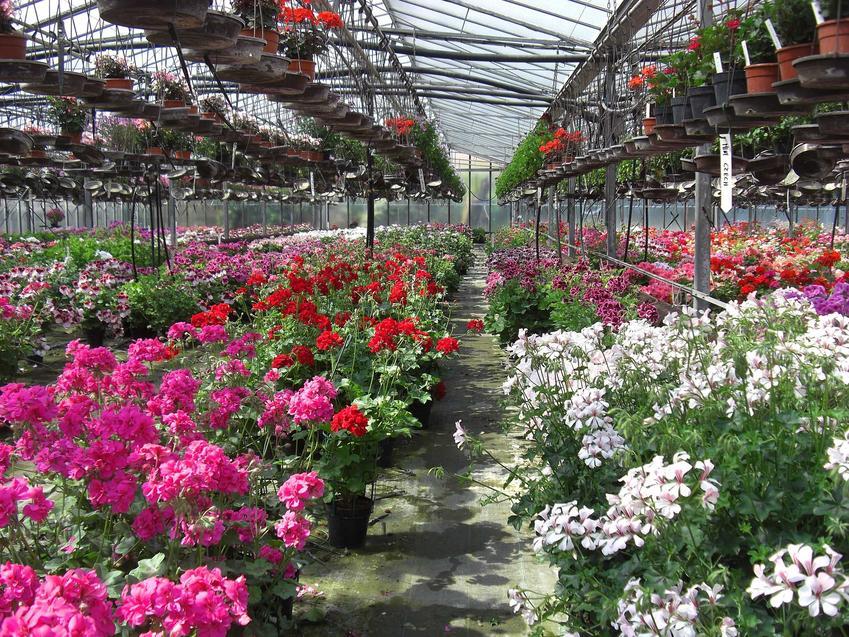 Najbardziej znane czerwone i różowe odmiany pelargonii to nie koniec wyboru. Jest bardzo wiele odmian rabatowych, o ozdobnych liściach i ogromnych kwiatach
