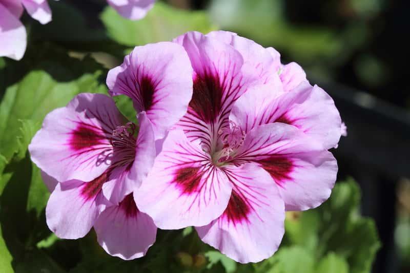 Pelargonia angielska o różowych kwiatuszkach rosnąca w ogrodzie, sadzenie, pielęgnacja, uprawa w doniczkach na balkonie lub parapecie