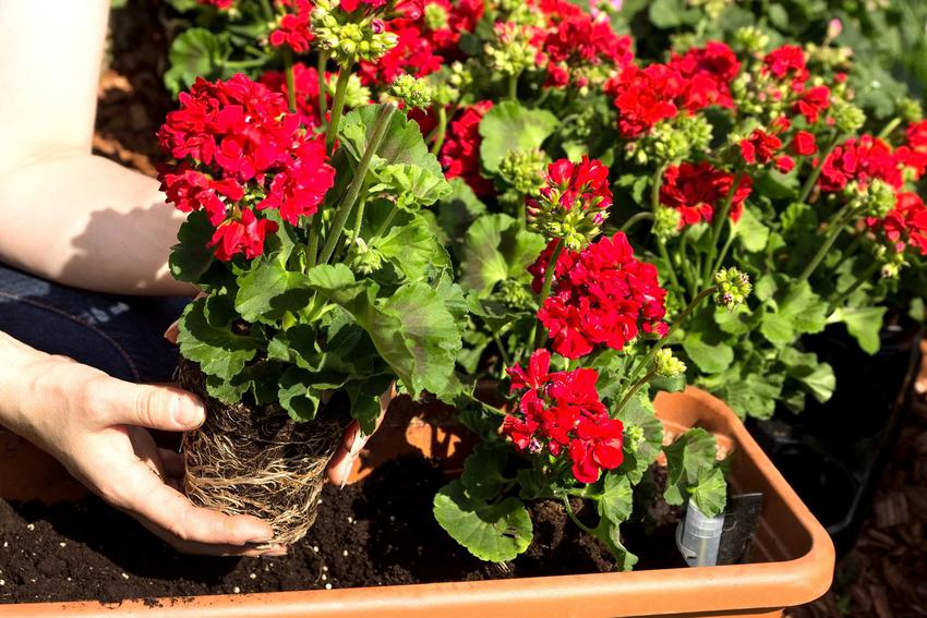 Zimowanie pelargonii przeprowadza się w skrzynkach, rośliny trzyma się w niskiej temperaturze aż do wiosny. W nowym sezonie powinny odbić.