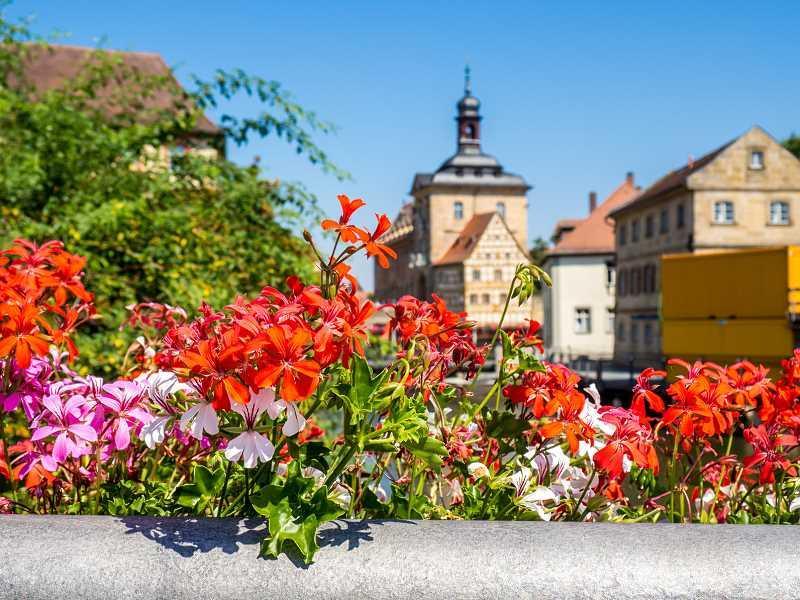 Czerwone i różowe pelargonie na balkonie w skrzynkach, a także sadzenie, uprawa, podlewanie i pielęgnacja pelargonii na balkon