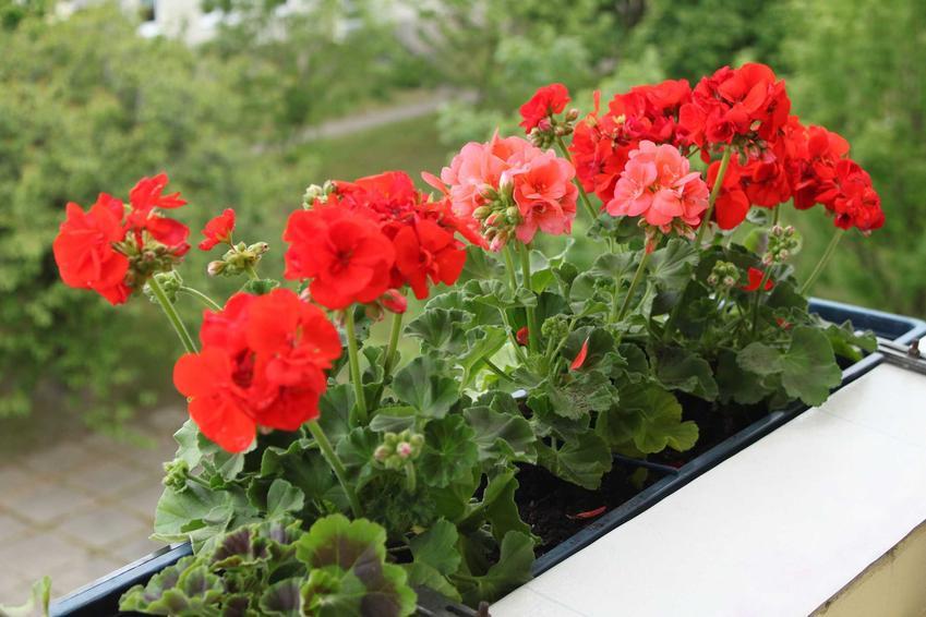 Pelargonie na balkonie i tarasie to najpiękniejsza ozdoba. Pelargonie kaskadowe najlepiej wyglądają na balkonie. Warto znaleźć odmiany o dużych kwiatach