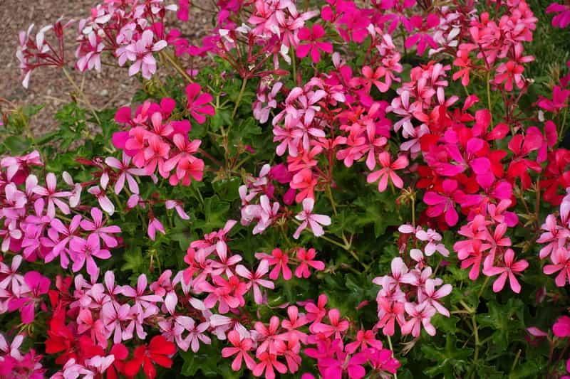 Różnokolorowe kwiaty pelargonii kaskadowej, czyli warunki uprawy, wymagania, sadzenie i pielęgnacja pelargonii na balkonach