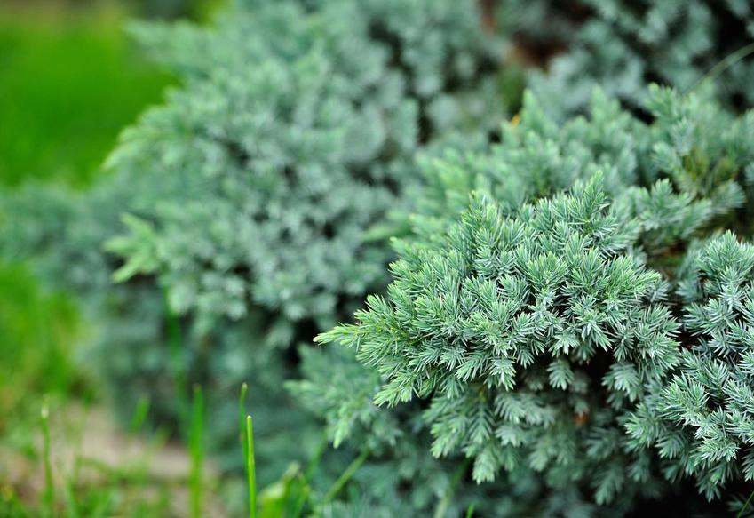 Jałowiec sabiński jest dostępny w bardzo wielu odmianach. Jego uprawa i sadzenie nie są trudno, są bardzo odporne na choroby