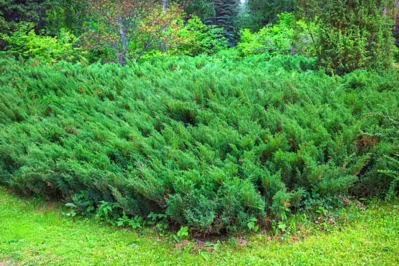 Zielone krzewy jałowca sabińskiego, a także jałowiec sabiński, sadzenie, pielęgnacja, uprawa, wymagania oraz podlewanie