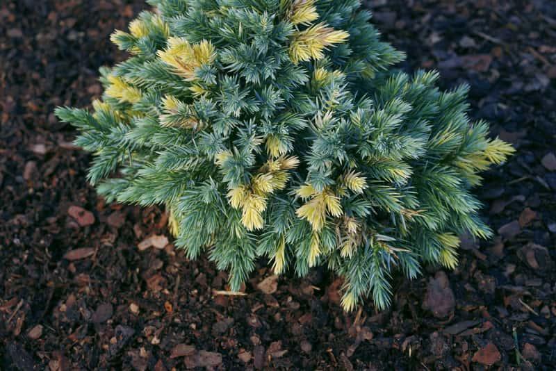 Jałowiec łuskowaty jesienią w czasie owocowania, a także sadzenie, pielęgnacja, zastosowanie oraz podlewanie
