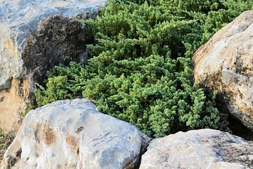 Jałowiec skalny jest jedną z najciekawszych roślin, które ładnie wyglądają na skalniaku. Jego pielęgnacja nie jest szczególnie trudna