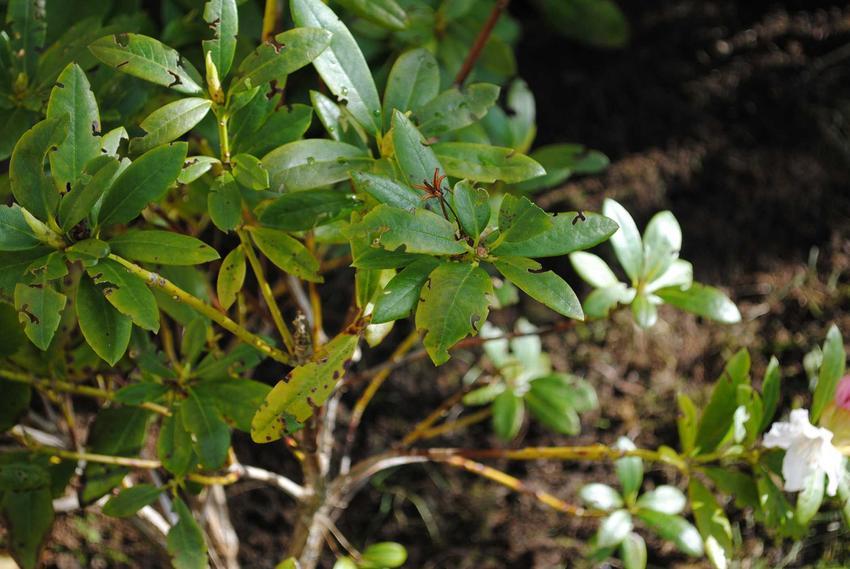 Choroby różaneczników są często spowodowane działaniem szkodników. Zwalczanie i leczenie jest możliwe za pomocą specjalistycznych środków ochrony roślin.