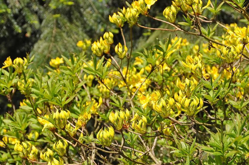 Azalia pontyjska ma przepiękne, żółte, dość drobne kwiaty, które wspaniale wyglądają na krzewie. Uprawa azalii nie jest wymagająca.