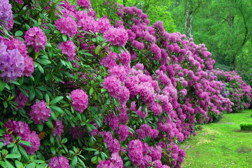 Krzewy różaneczników katawbijskim to wspaniały widok w ogrodzie. Sadzenie nie jest trudne, uprawa wymaga regularnego nawożenia i cięcia.