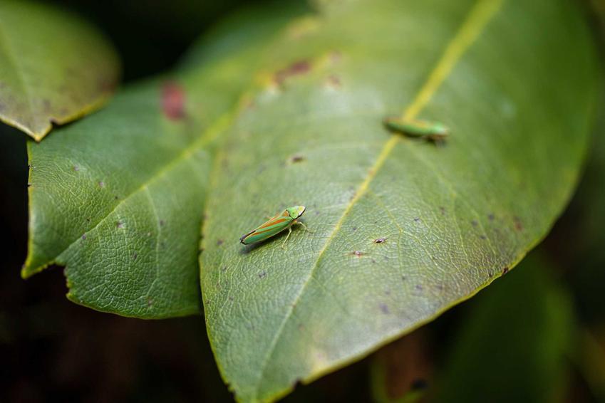 Choroby różanecznika najczęściej są wywoływane przez działanie szkodników. Poza tym pielęgnacja nie jest trudna, a roślina ma naprawdę małe wymagania