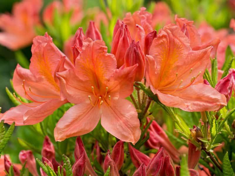 Różanecznik japoński o fioletowych kwiatach, czyli azalia w ogrodzie i jej wymagania, pielęgnacja oraz uprawa