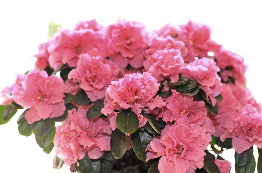 Rododendrony w donicy mogą być uprawiane na balkonie. Ich bardzo gęste ulistnienie i bardzo liczne kwiaty wspaniale się prezentują w drewnianych lub glinianych pojemnikach.