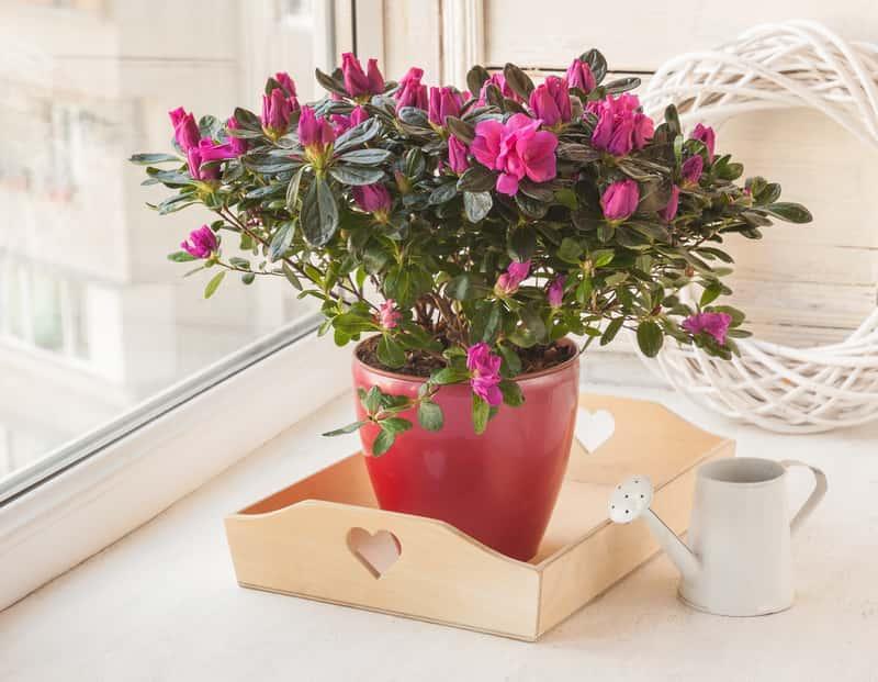 Rododendron w donicy do uprawy na balkonie, a także informacje o jego podlewaniu, przycinaiu i pielęgnacji