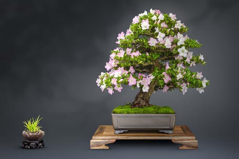 Azalia w kształcie bonsai, gatunki, rodzaje, sazenie, rozmnażanie, szczepenie oraz pielegnacja azalii na pniu - porady