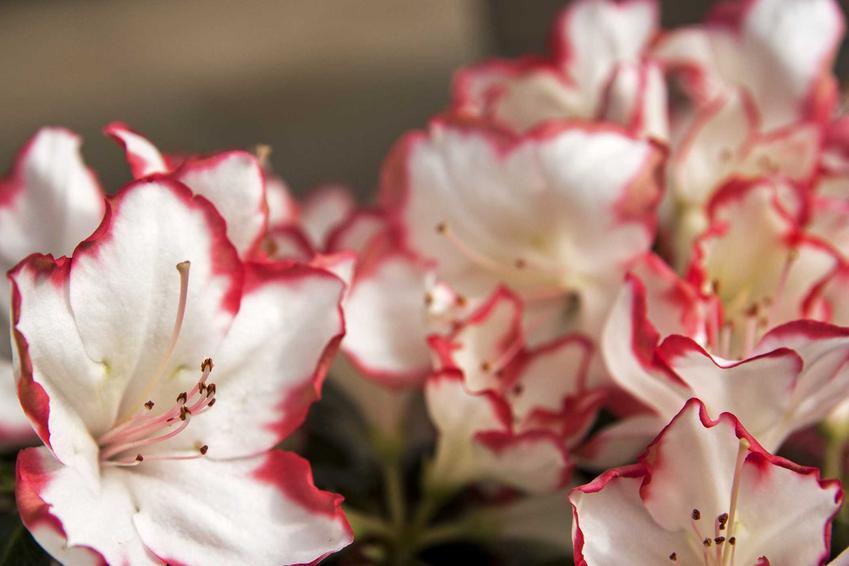 Pielęgnacja azalii na pniu nie jest trudna. Jest to azalia doniczkowa o przepięknym kolorze delikatnych kwiatów.