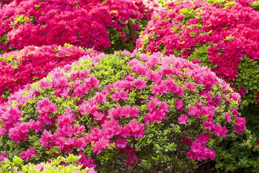 Azalia wielkokwiatowa w ogrodzie prezentuje się zachwycająco. Ogromne kępy kwiatów nie wymagają specjalnej pielęgnacji, a przepięknie się prezentują.