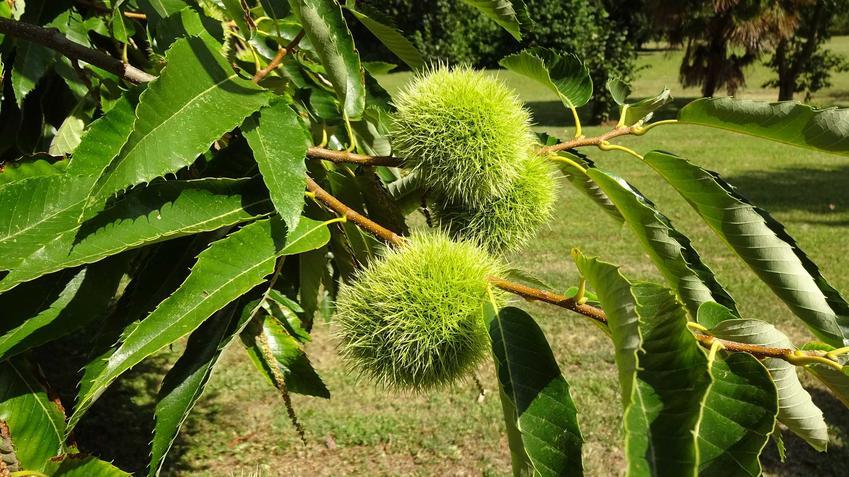 Kasztan jadalny można uprawiać w ogrodzie. Uprawa nie jest trudna, a jego owoce są bardzo smaczne i można je wykorzystać w kuchni do wielu zastosowań.