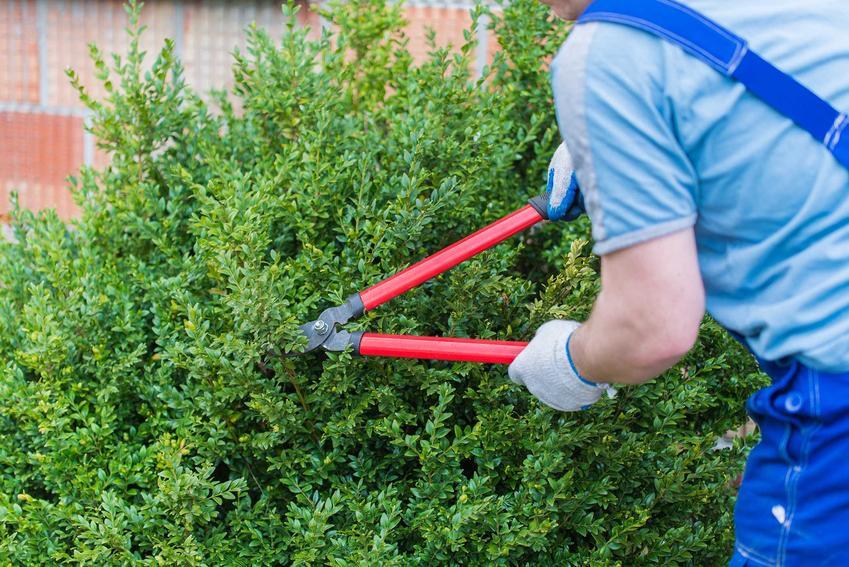 Cięcie bukszpanu, zwłaszcza małego, najlepiej wykonywać specjalnymi nożycami lub sekatorem ogrodowym. Automatyczne elektryczne nożyce do krzewów w tym wypadku nie znajdą zastosowania.