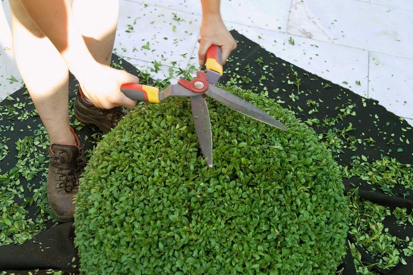 Przycinanie bukszpanu wieczniezielonego to najważniejszy element pielęgnacji. Cięcie i sadzenie to najważniejsze zabiegi.