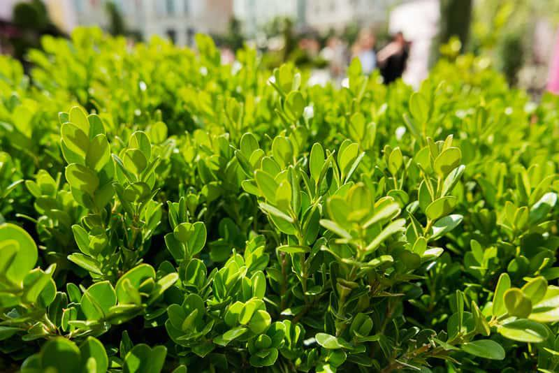 Zielone listki bukszpanu drobnolistnego wiosną, a także bukszpan drobnolistny krok po kroku, uprawa i pielęgnacja rośliny w ogrodzie