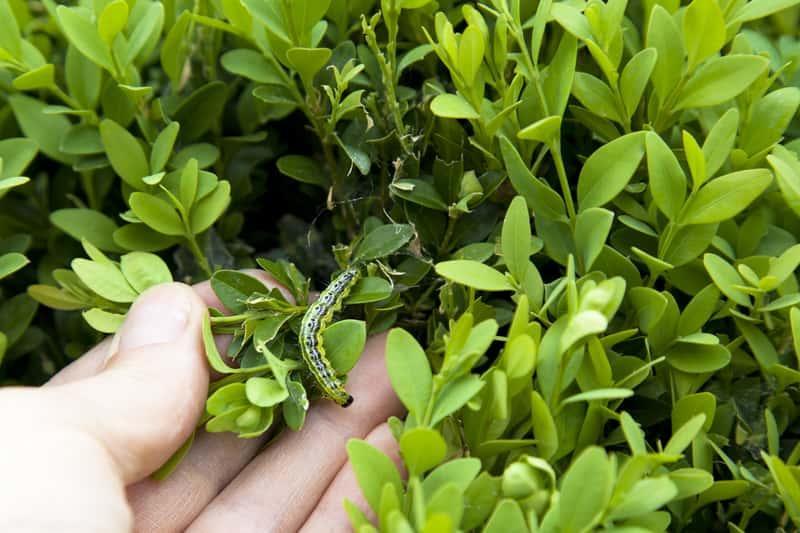 Liście bukszpanu z niewielką gąsiennicą, a także najważniejsze choroby i szkodniki, leczenie, zwalczanie, porady dla ogrodników