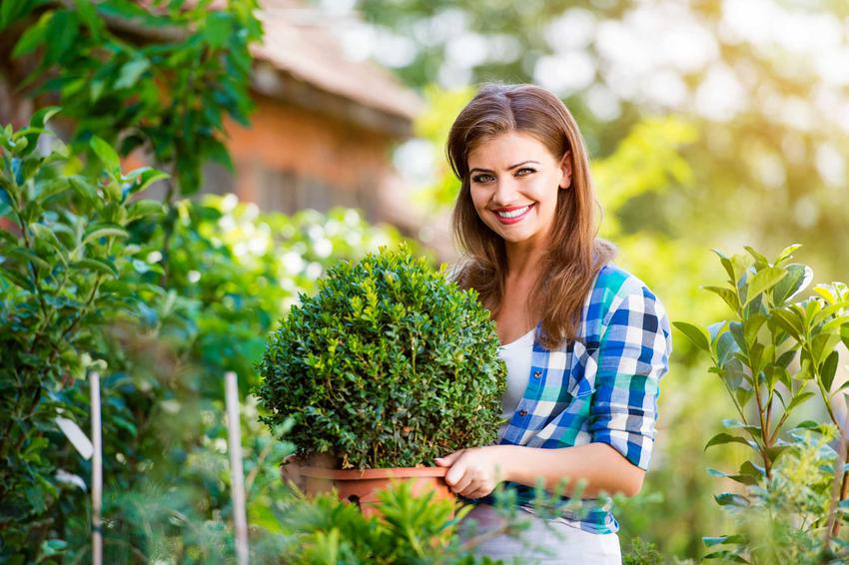 Sadzonki bukszpanu kupuje się w doniczkach. Należy je sadzić w przepuszczalnej glebie zasilonej specjalistycznym nawozem do bukszpanu. Niewielkie odmiany można uprawiać w doniczce Obsługa czytników ekranu włączona.