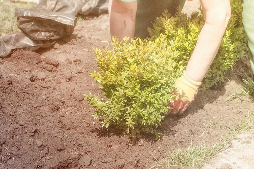 Sadzenie bukszpanu zaczyna się od wstawienia sadzonki we wcześniej wykopanych, niewielkich dołkach. Należy zrobić to bardzo delikatnie, by nie uszkodzić rośliny.