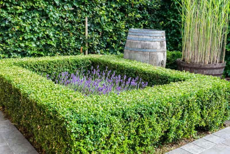Żywopłot z bukszpanu wokół rabaty z kwiatami, a także sadzenie, rozstaw bukszpanu, pilęgnacja oraz rozmnażanie sadzonek bukszpanu