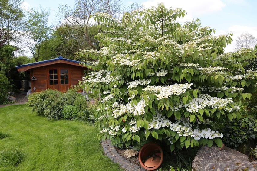 Kalina japońska ma inne kwiaty i liście niż inne odmiany gatunku, ale naprawdę wspaniale prezentuje się w ogrodzie. Jej odmiany mają bardzo ciekawe kolory.