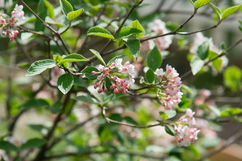 Kalina wonna jest jedną z najpiekniej kwitnących roślin. Uprawa jej nie jest trudna, dlatego może być w każdym ogrodzie. Pielęgnacja nie jest wymagająca.