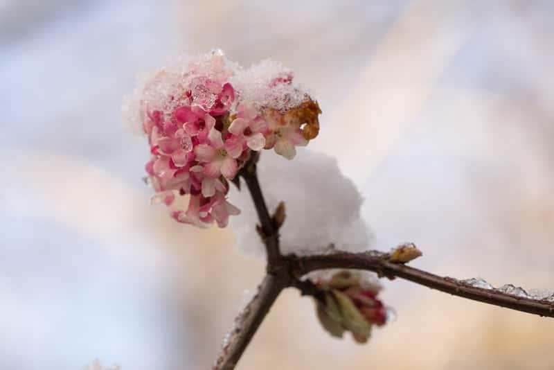 Kwiaty kaliny wonnej, czyli viburnum farreri, uprawa, pielegnacja, stanowisko, cięcia krzewów ozdobnych