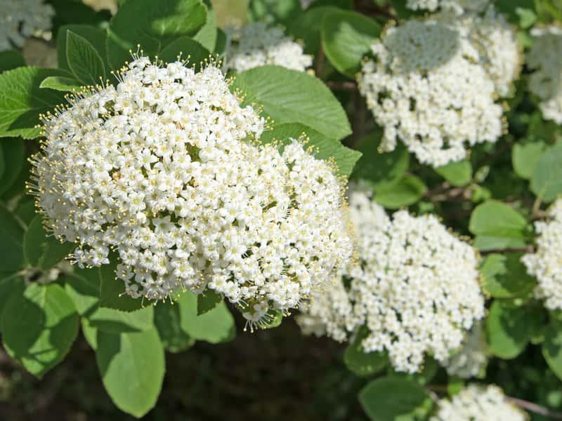 Kwiatostan kaliny hordowina, czy też z łac. viburnum lantana - odmiany, warunki uprawy, wymagania, stanowisko, pielęgnacja - porady