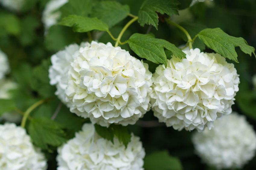 Kalina Hordowina ma bardzo ciekawe kwiaty. Pielęgnacja kaliny nie jest wymagająca, roślina potrzebuje dobrze dobranego stanowiska