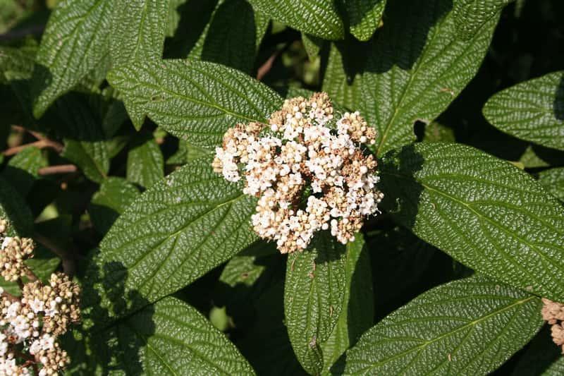 Kwiatostan i liście kaliny sztywnolistnej, czyli krzew ozdobney do parków i ogrodów, warunki, pielęgnacja, uprwa krzewu zimozielonego